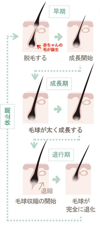 健康なヘアサイクル(毛周期)